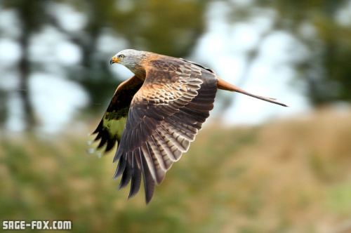 red-kite.png
